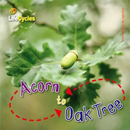 Life Cycles: Acorn to Oak Tree (BOK)